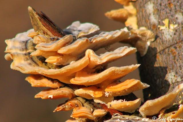 Polypore versicolore ou Tramète versicolore, Forêt de Fontainebleau