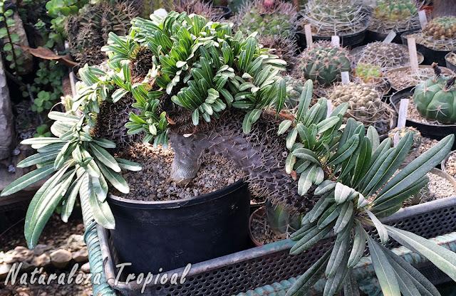 """Palma de Madagascar en Cristación, Pachypodium lamerei """"cristata"""""""