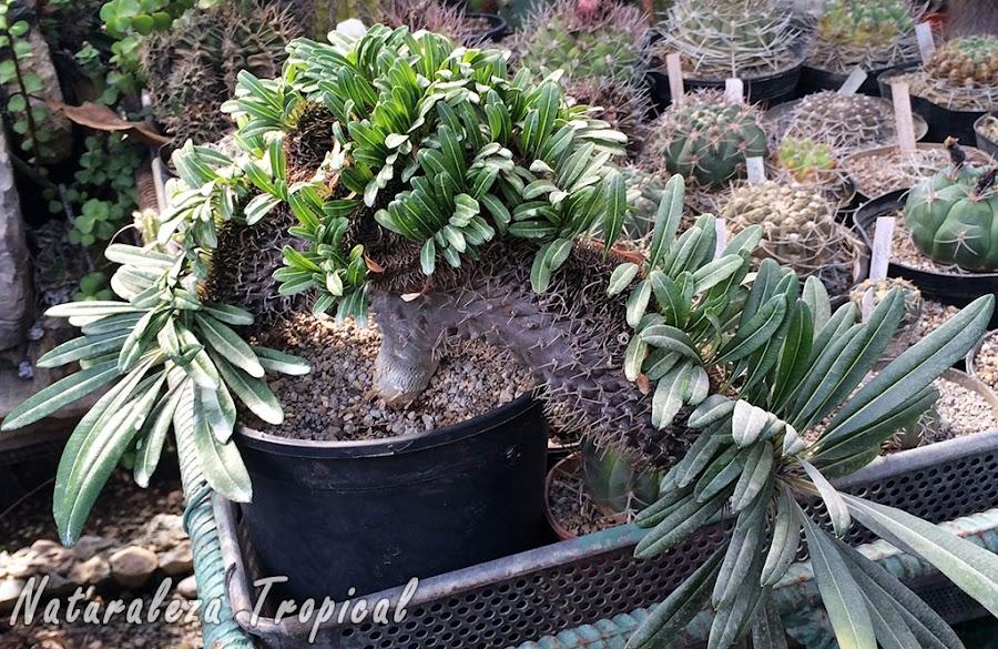 Palma de Madagascar en Cristación, Pachypodium lamerei cristata