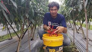 Ahmad Naufa, Sukses Budidaya Cabe Merah Keriting Hingga Ratusan Juta