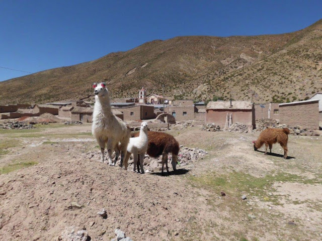 Lamas in the Highlands. The meat of the lamas the people sell on the big markets