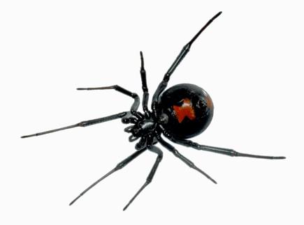 Black Widow laba laba paling mematikan