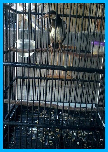 Burung jalak suren yaitu salah satu jenis jalak yang terkenal diantara jenis jalak lainnya Cara Perawatan Jalak Suren Mabung Pertama
