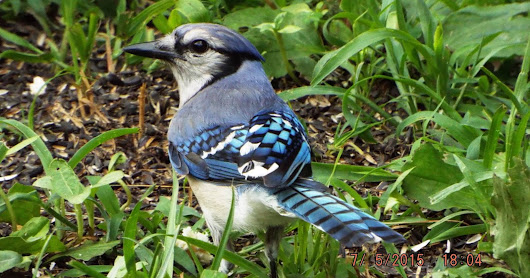 Dignified Blue Jay