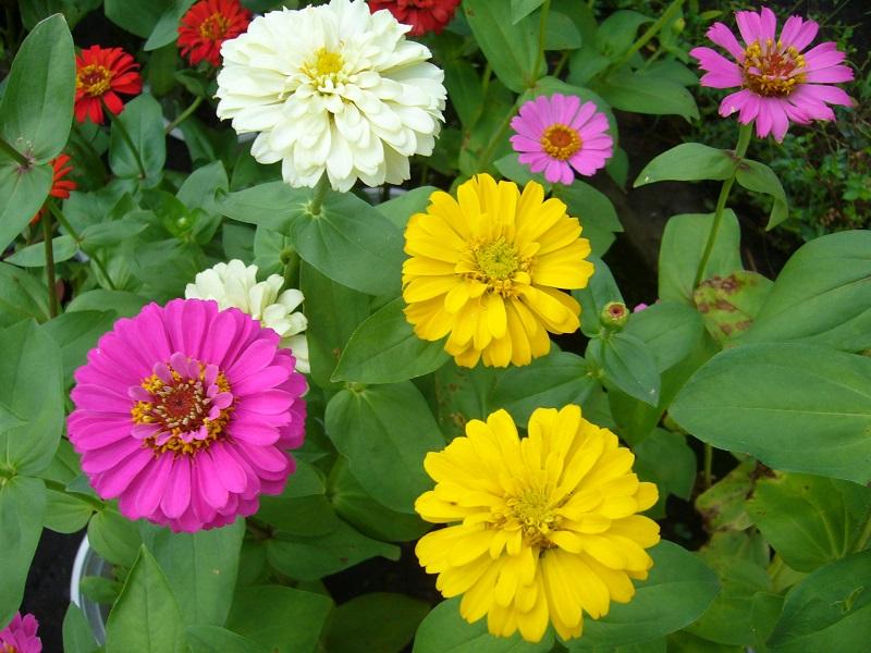 Cúc lá nhám nhiều màu sắc