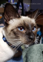 Royal School of Needlework Pet Portrait Class: Siamese kitten used as subject for embroidered animal project