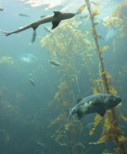 Tiburones_Monterey_Bay_Aquarium