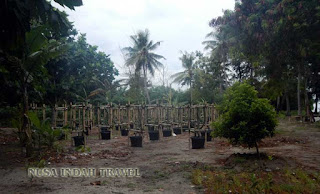 Tanaman Perkebunan di Pulau Tidung Kecil