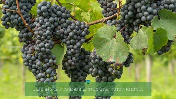 Cara Merawat Tanaman Anggur Agar Cepat Berbuah