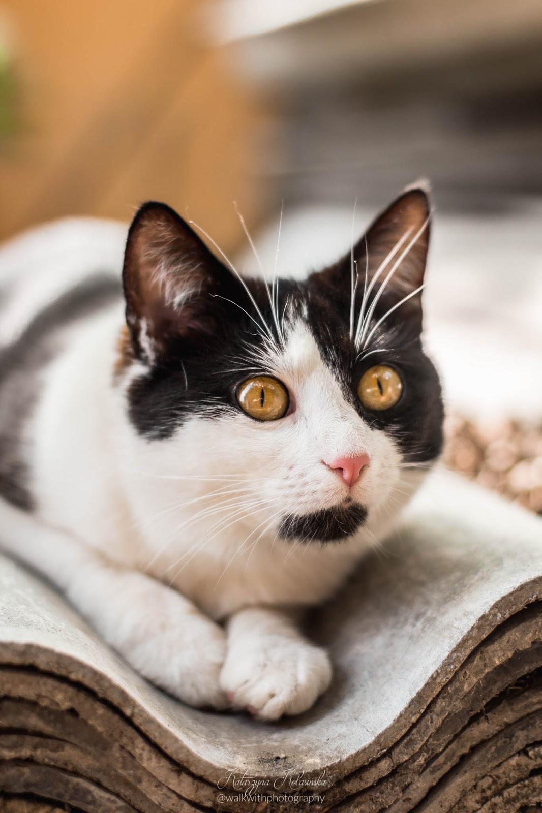uroczy kot, kot patrzy duzymi oczami