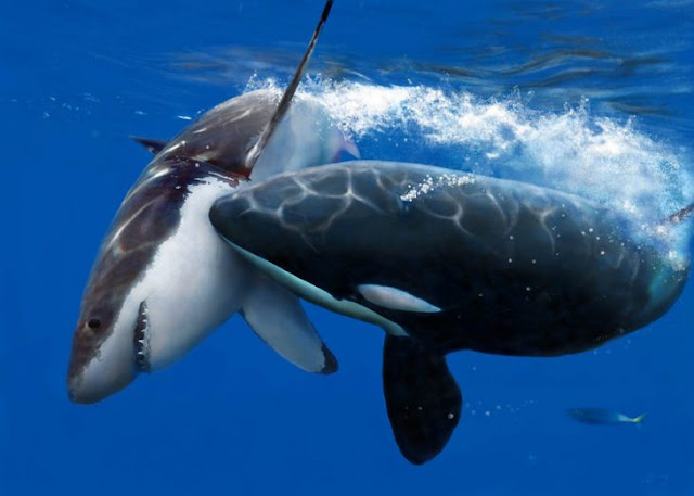 Orcas devorando a un tiburón vivo: lo comparten en manada