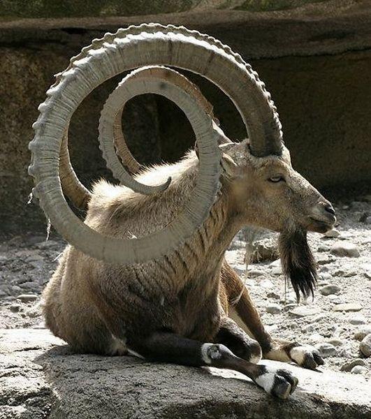 wisdom horns