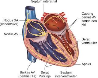 Mekanisme konduksi jantung
