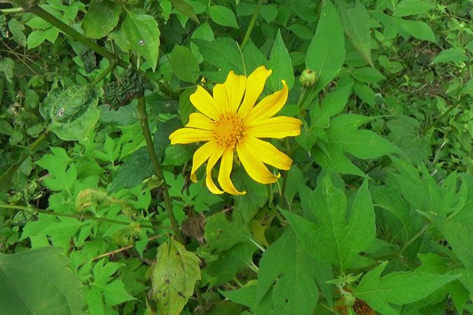Dlium Mexican sunflower (Tithonia diversifolia)