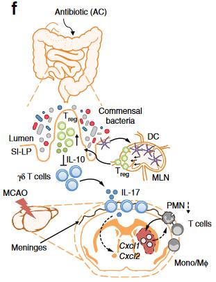 図:腸内環境と脳梗塞
