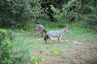 Füchse - foxes