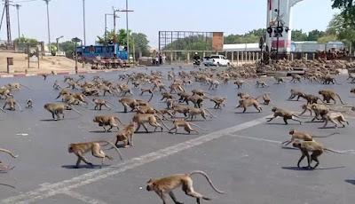Monyet liar serang pemukiman mencari makanan