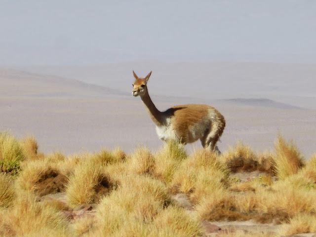 Las vicuñas nos observan en la subida a las lagunas altiplánicas
