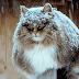 20 Incredible Pictures Of Glorious Siberian Farm Cats