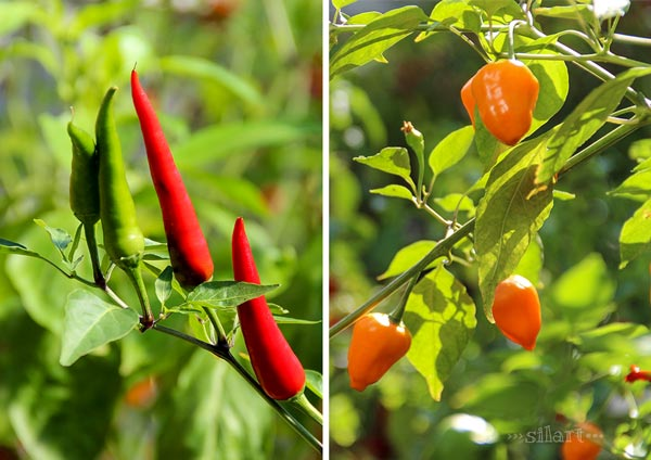 Red and spicy, Peperoni und Chili