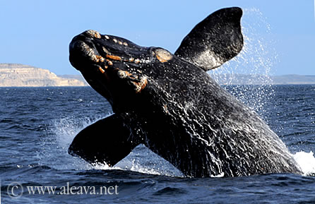 Calves whales jumping in Valdes Peninsula