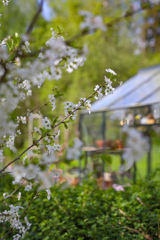 kirsikan-kukinta-100outdoor