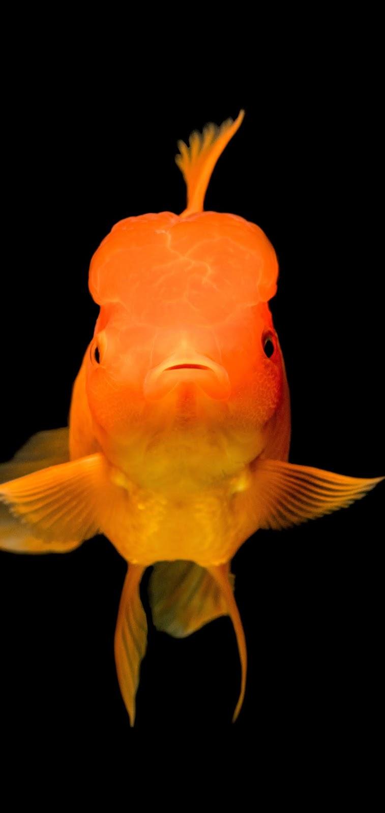 A goldfish up close.