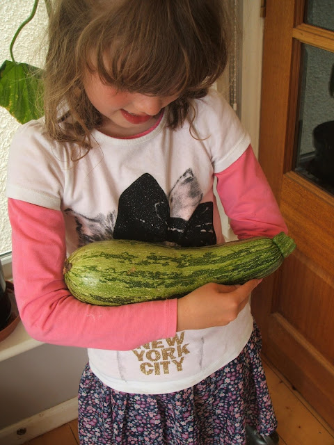 harvesting allotment courgettes