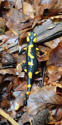 Salamandra plamista, symbol GPN