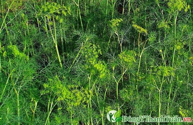 Thực phẩm chữa đau dạ dày, nhuận tràng bằng cây thì là