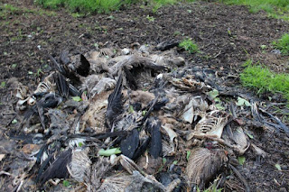 Corpses of grouse, pheasants and geese left to rot in a pit on a shooting estate.