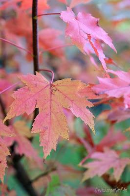 feuillage automne acer autumn blaze