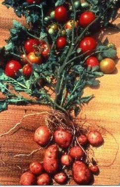 Pembiakan Vegetatif dan Penyambungan (Okulasi)