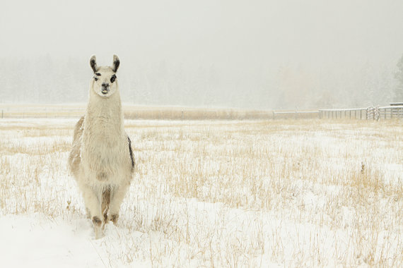 Beautiful white llama in wild grass by Lucy Snowe