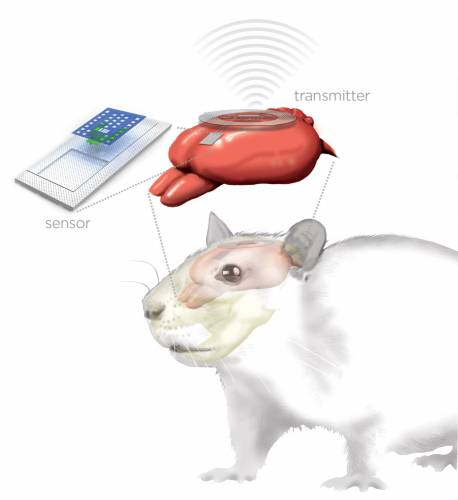 Illustrazione dell'impianto elettronico e del cervello di un topo da laboratorio