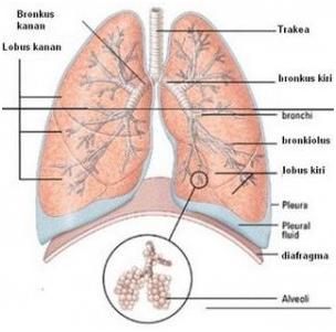 sistem ekskresi pada manusia (paru-paru)