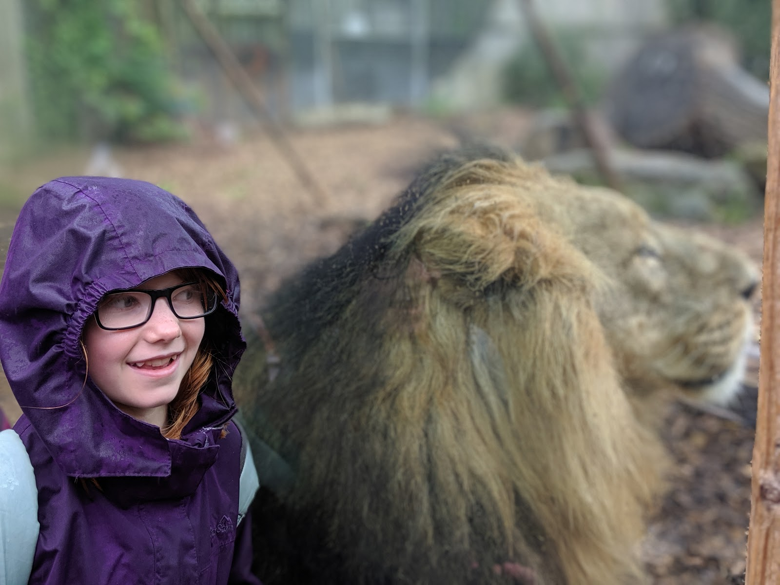 Exploring the Southern Merlin Theme Parks with Tweens  - Lions at Chessington