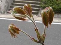 目薬木の新芽