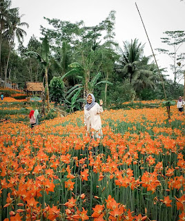 Rute Dan Lokasi Taman Bunga Amarilis Gunung Kidul, Sudah Mekar Kembali