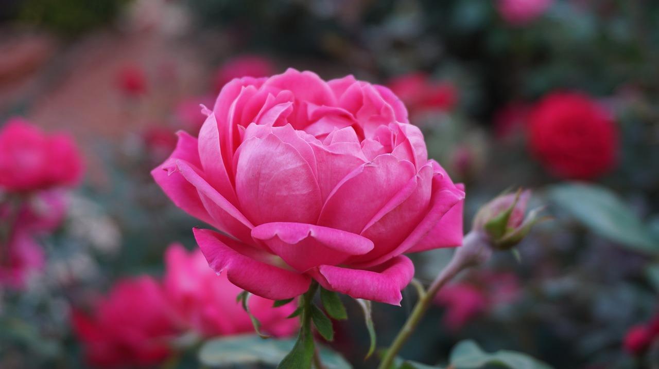 El color de las rosas y su significado - Significado de los colores de las rosas ...