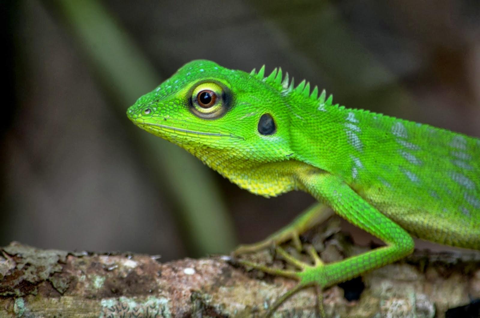 The Kambatik Park, Bintulu.: Reptilia watch album - Green ...