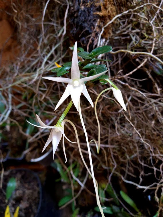 Angraecum bicallosum