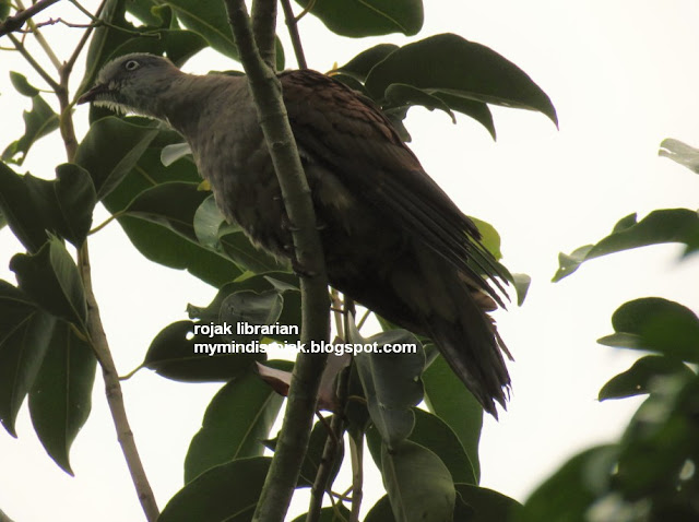 Mountain Imperial Pigeon in Ubin