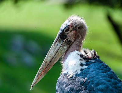 An ugly bird.
