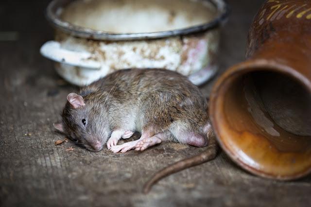 2 jenis tikus yang paling banyak menyusahkan rakyat Malaysia di kawasan bandar