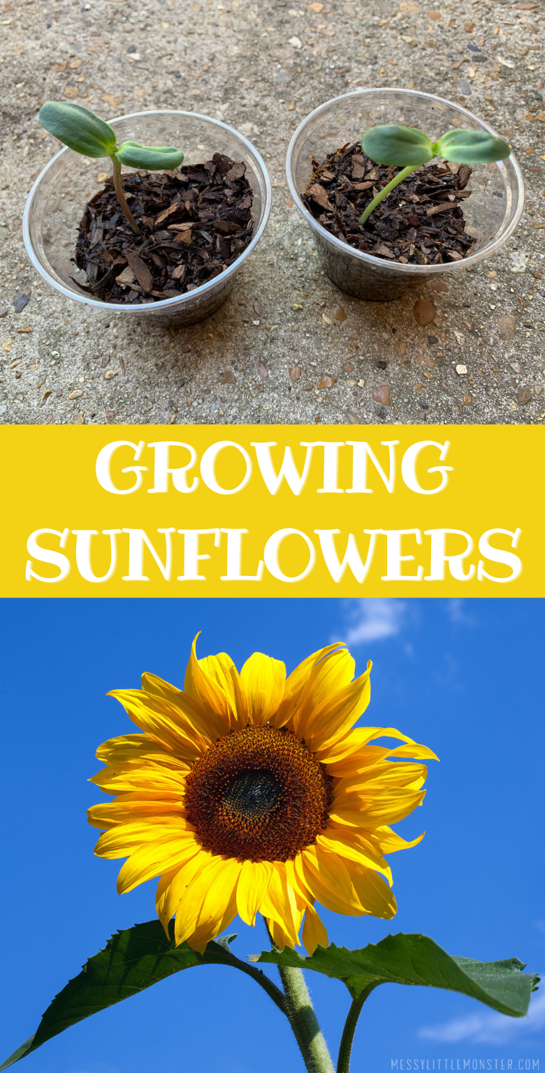 Growing sunflowers in pots. Directions on how to plant sunflowers and top tips.