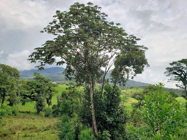 cecropiaceae cecropia obtusifolia tree costa rica