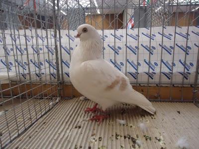 Schöneberger Streifige - german pigeons