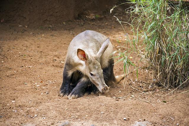 babi tanah