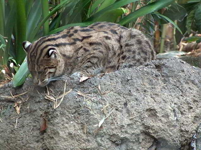 Foto Fishing Cat Di Kebun Binatang